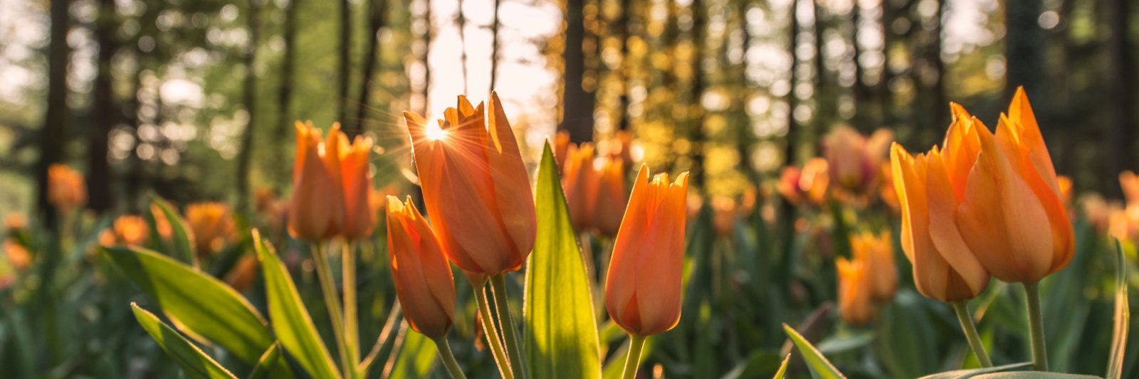 Orange tulips in a forest